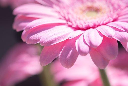Marguerite, Flower, Pink, Pink Daisy, Pink Flower
