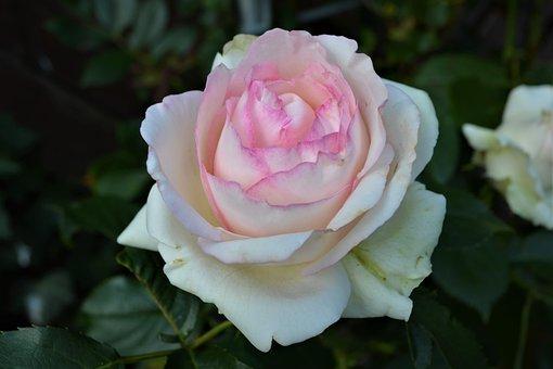 Rose, Weis Pink, Pink Rose, Blossom, Bloom, Flower