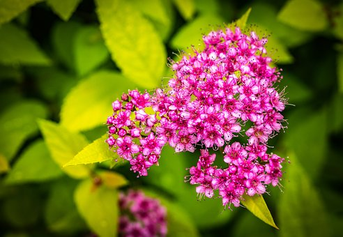 Spiraea Japonica, Japanese Spirea, Nana, Shrub, Pink