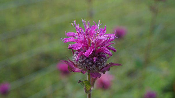 Flower, Beebalm, Plant, Nature, Garden, Bloom, Blossom
