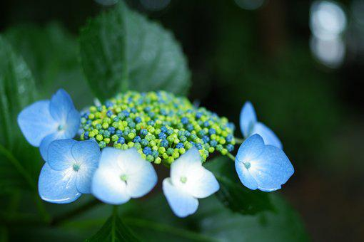 Hydrangea, Plant, Flowers, Rainy Season, Hydrangeas