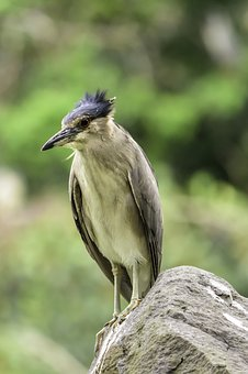 Bird, Wildlife, Night Heron, Portrait, Nature