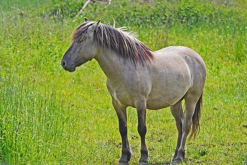 Konik, Wild Horse, Tarpan, Reproduction, Horse, Beige
