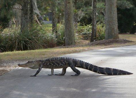 Alligator, Walking, Golf Course, Reptile, Florida, Path