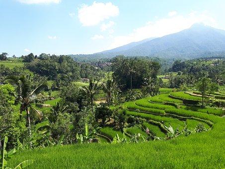 Field, Rice, Rice Paddies, Bali, Indonesia