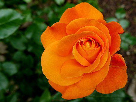Rose, Flower, Blossom, Bloom, Nature, Rose Blooms