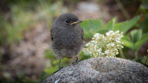 Rotschwaenzchen, Bird, Black Redstart, Fluffy, Songbird