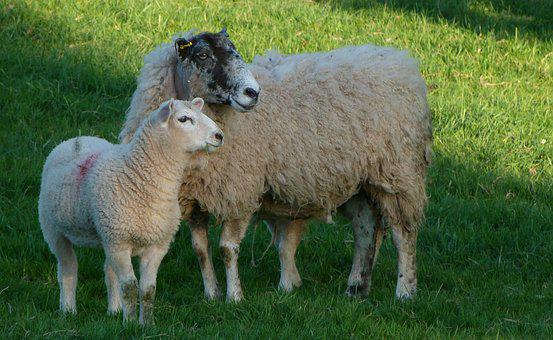 Sheep, Ewe, Lamb, Farm, Wool, Cute, Ram, Grass, Grazing