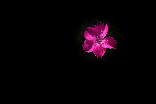 Flower, Pink, Pink Flower, Carnation, Small Carnation