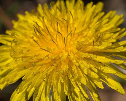 Dandelion, Flower, Yellow, Sonchus Oleraceus