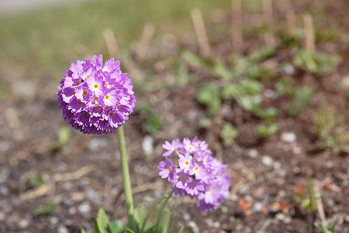 Primrose, Drumstick, Spring, Garden, Flower, Nature