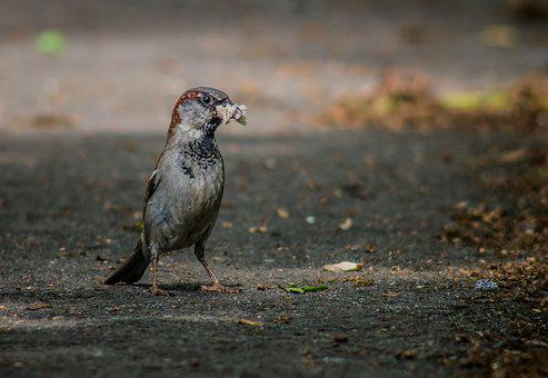 The Sparrow, Bird, The Male Sparrow, Bread Crumb, Real