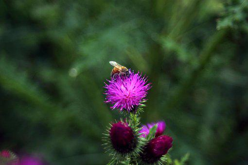 Thistle, Booger Flowers, Booger Thistle, Korean Flower