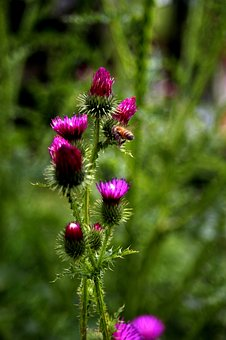 Thistle, Bug, Flowers, Plants, Affix, Insects, Bee