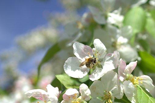Bee, Environmental Protection, Tree Flower, Blossom