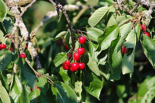 Cherries, Cherry, Red, Tree, Fruit, Sweet Cherry
