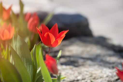 Tulips, Red, Red Tulips, Small, Small Tulips, Garden