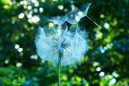 Dandelion, Vegetation, Nature, Fruit
