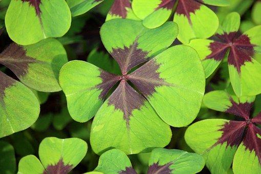 Klee, Garden, Vierblättrig, Nature, Four Leaf Clover