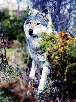 Wolf, Wolves, Gray, Wild, Wildlife, Animal, Nature