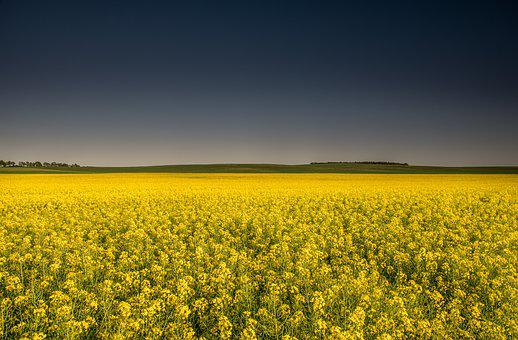 Fields, Rapeseed, Yellow, Dark Sky, Agriculture