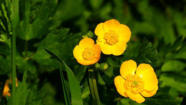 Buttercup, Plant, Yellow, Pointed Flower