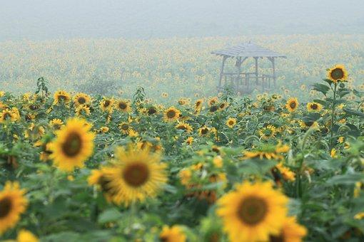 Sunflower, Sunflower Fields, Nature, Farm, Yellow