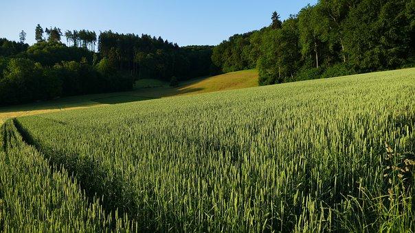 Landscape, Agriculture, Nature, Cornfield, Morning Sun