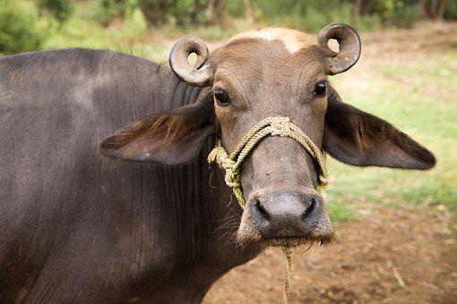 Cow, Nature, Farm, Animal, Cattle, Agriculture, White