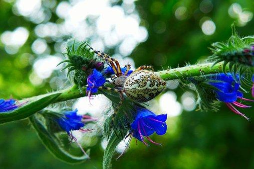 Kołosz Colored, Spider Oak, Animals, Arachnids