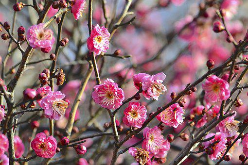 Plum, Flowers, Pink, Early Spring, Natural, Arboretum