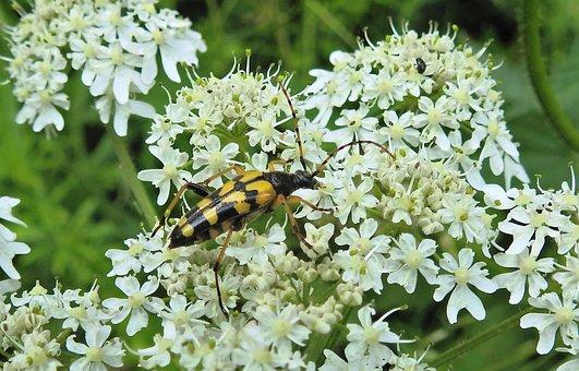 Narrow Bock, Longhorn Beetle, Four Of Cohesive, Beetle