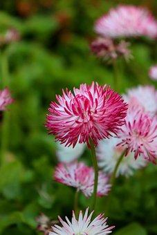Daisy, Bellis, White, Pink, Flowers, Flower, Spring