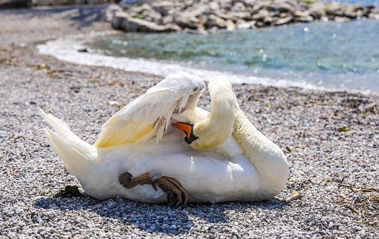 Swan, Water Bird, Bird, Animal, Waterfowl, állatportré