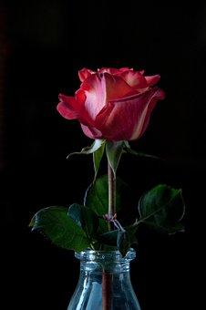 Rose, Black Background, Petals, Red Rose, One Rose