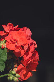 Flower, Blossom, Bloom, Red, Geranium, Red Flower