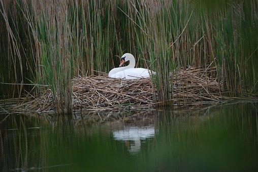 Swan, Swan's Nest, Breed, Sweltering Swan, Swans