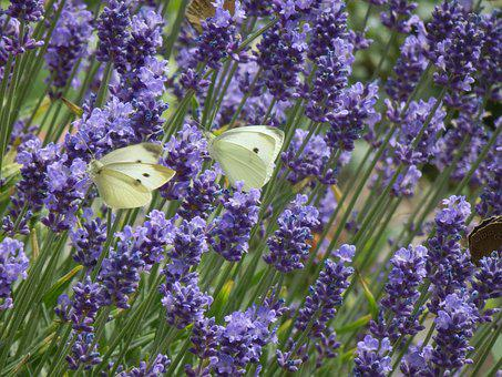Butterfly, Cabbage White, Flowers, Flower, Violet