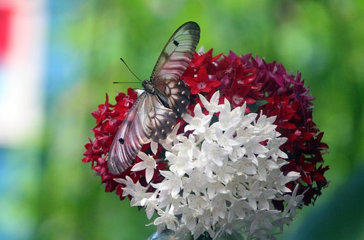 Butterfly, Flowers, Red Flowers, White Flowers, Spring