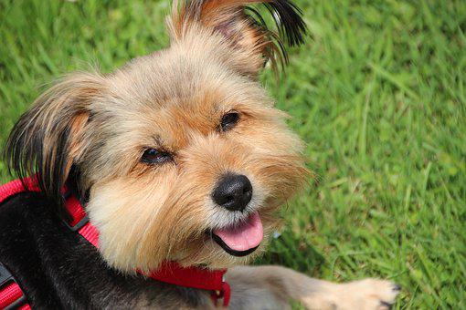 Dog, Yorkshire Terrier, Small Dog, Lap Dog, Pet, Cute