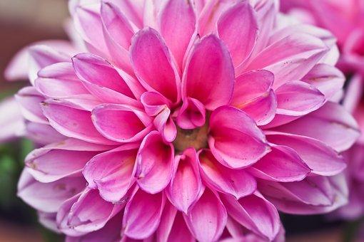 Flower, Dahlia, Blossom, Bloom, Dahlia Garden