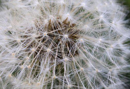 Dandelion, Flower Seeds, Mag, Nature, Plant