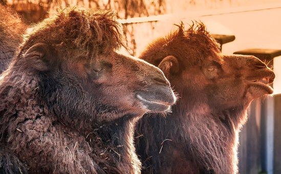 Camels, Dromedaries, Desert Ship, Animal, Nature, Zoo