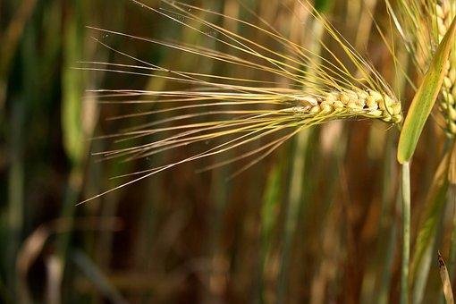Cereals, Ear, Barley, Awns, Cornfield