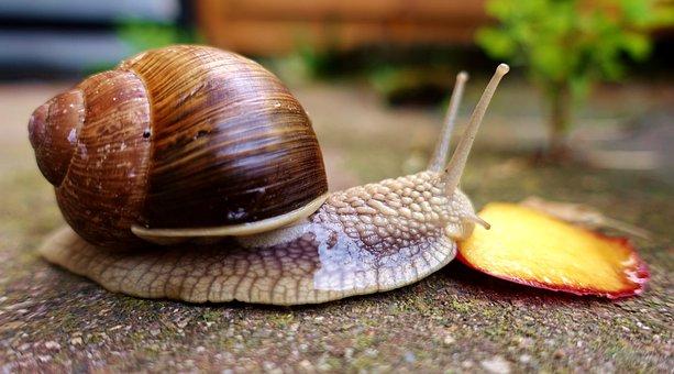 Snail, Eat, Peach, Shell, Crawl, Mollusk, Slowly