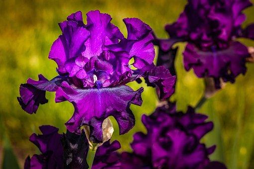 Iris, Eggplant Color, Violet, Flower
