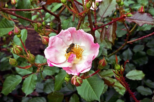 Flower, Plant, Floral, Garden, Bloom, Dog-rose