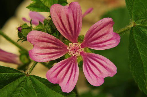 Flower, Purple Flower, Pink Flower, Flower Mottled