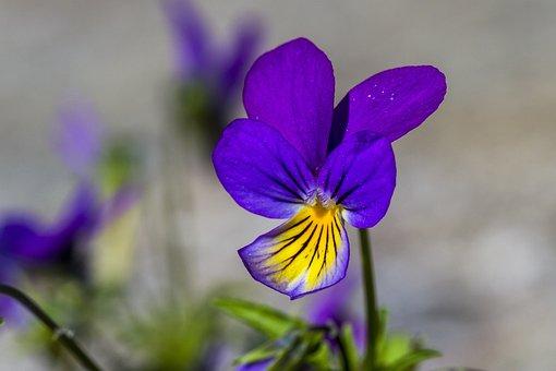 Flower, Pansy, Macro, Purple
