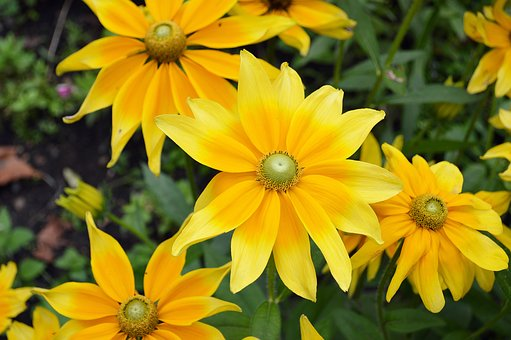 Flower, Rudbeckia Hirta, Green Eyes, Black-eyed Susan